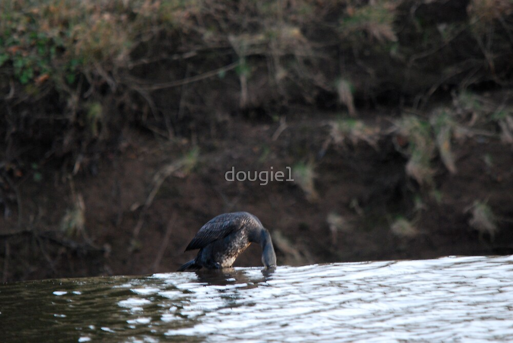 Thirsty Cormorant (a set) by dougie1
