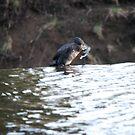 Thirsty Cormorant! 2 by dougie1