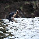 Thirsty Cormorant 3 by dougie1