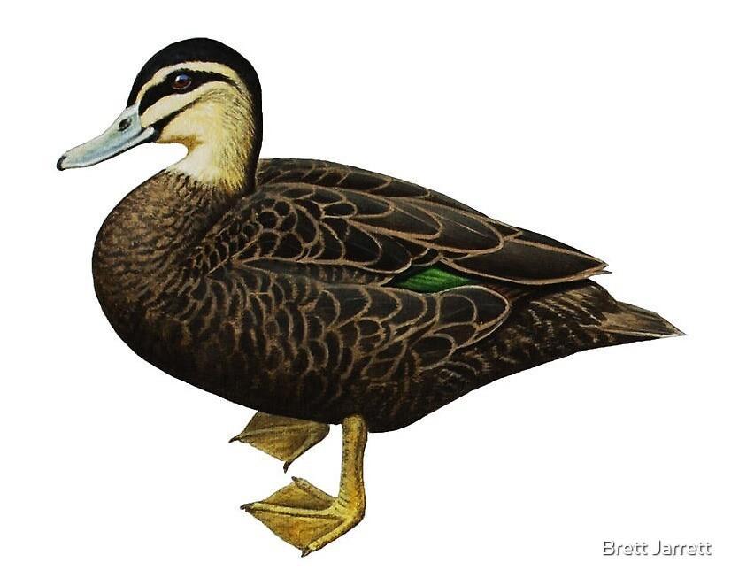 Black Duck by Brett Jarrett