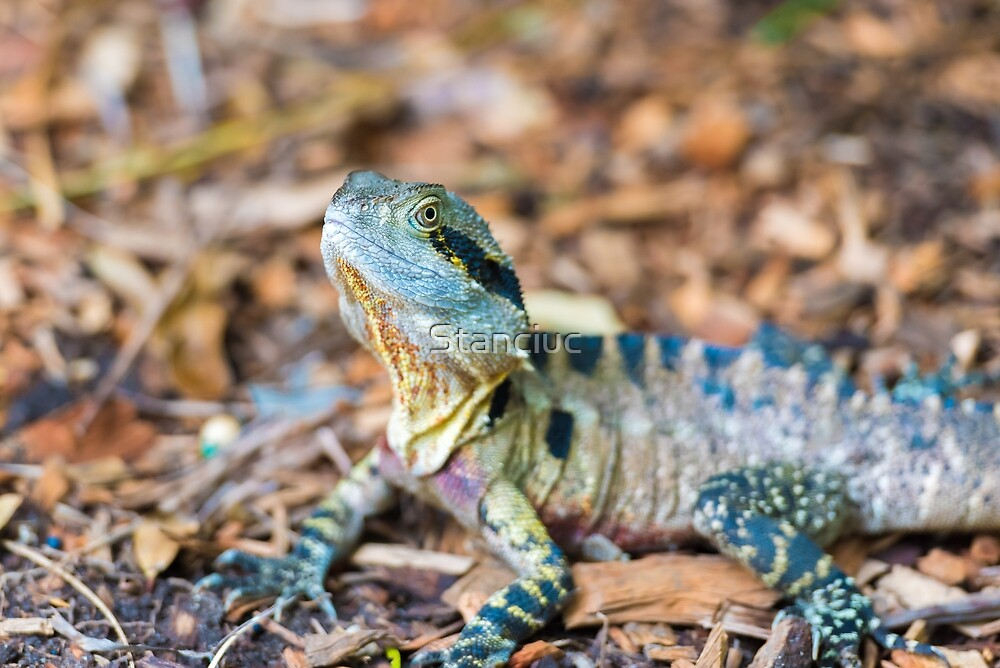 Colorful Australian Eastern Water Dragon  by Stanciuc