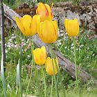 Yellow Tulips in My Garden by Dennis Melling