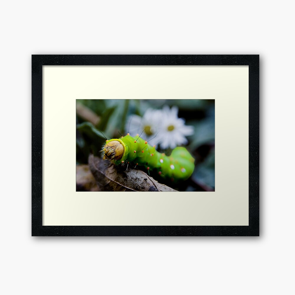 Larval Eagle Framed Art Print