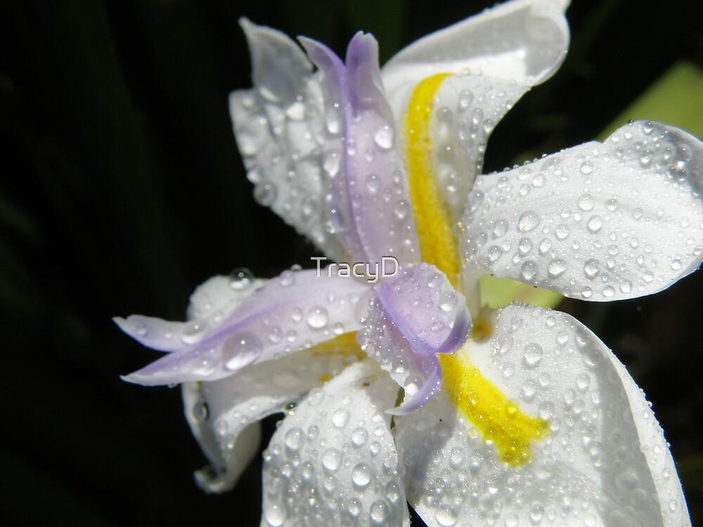 Native Iris! by TracyD