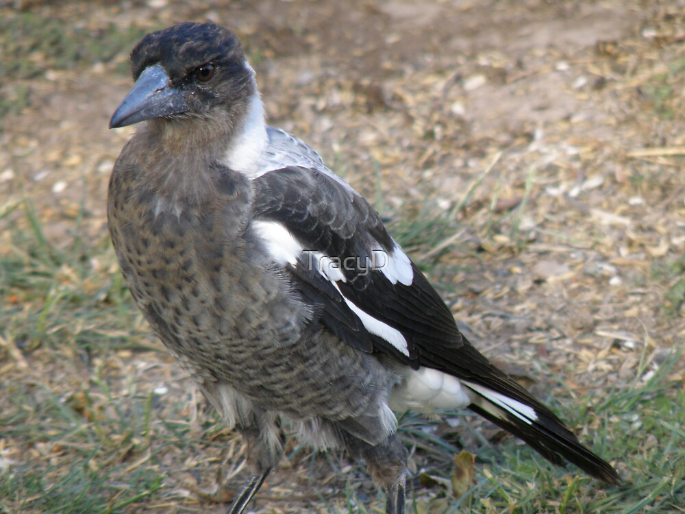 A Juvenile Magpie by TracyD
