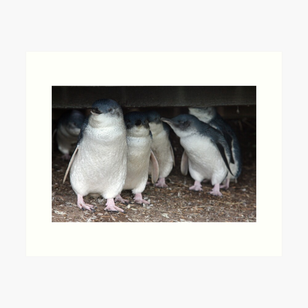 Australian baby penguins huddle for warmth Art Print