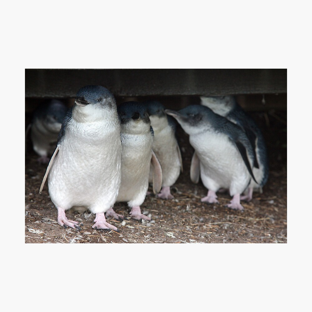 Australian baby penguins huddle for warmth Photographic Print
