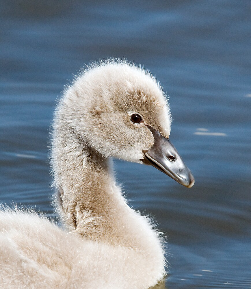 Baby Black Swan by OzHorseForum