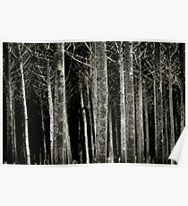 Silver Birch forest in Winter Poster