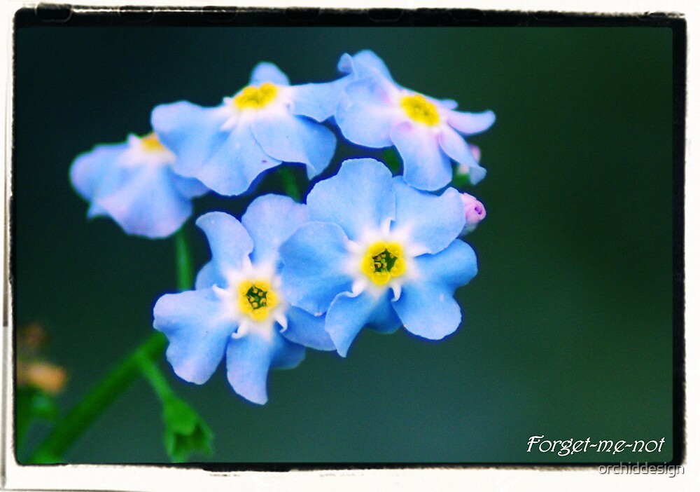 Forget-Me-Not by orchiddesign