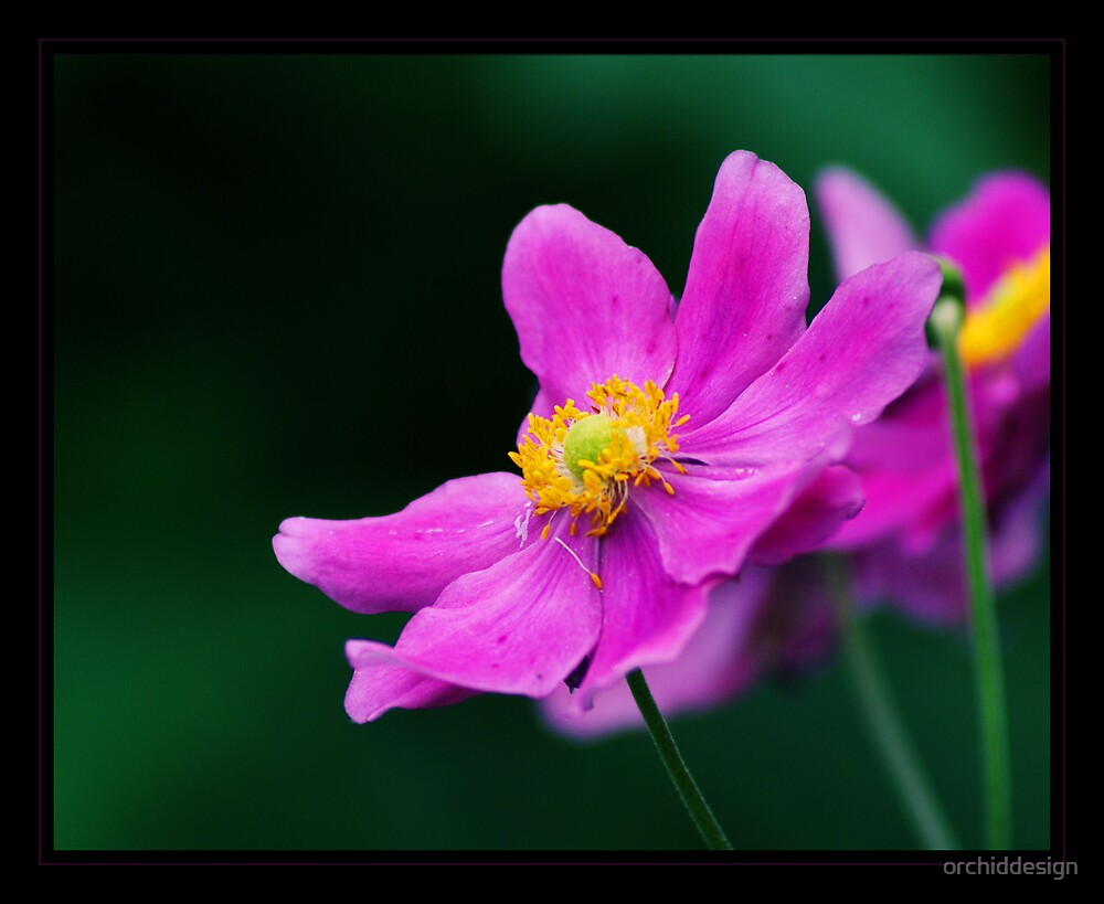 Anemone Japonica by orchiddesign