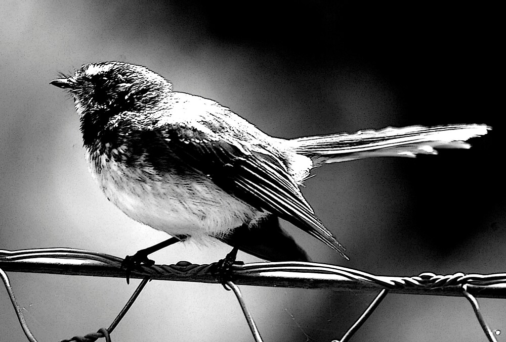 willie wagtail by timrockk