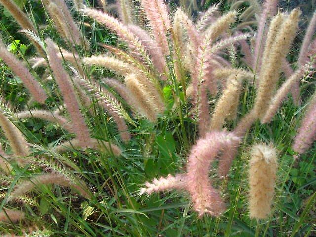 grass flowers by mathewkmangalam