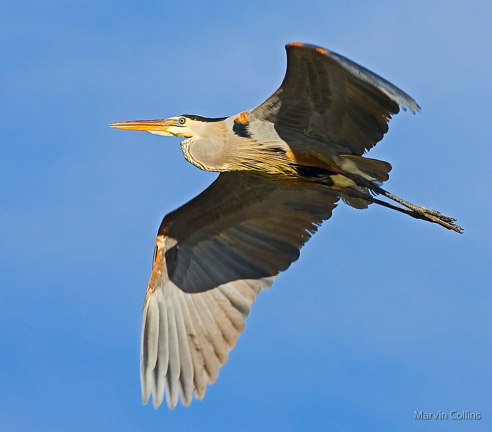 Great Blue Heron 6 by Marvin Collins