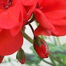 Rote Blume in der Sonne von OceanPeaceful