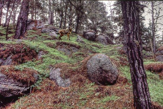 Fawn in a Boulder Field by Wayne King