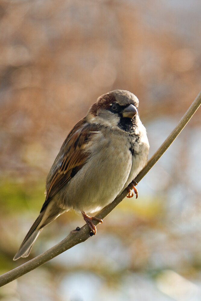 Sparrow by Karen Millard