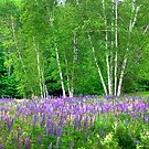 Lupine in the Birches by Wayne King