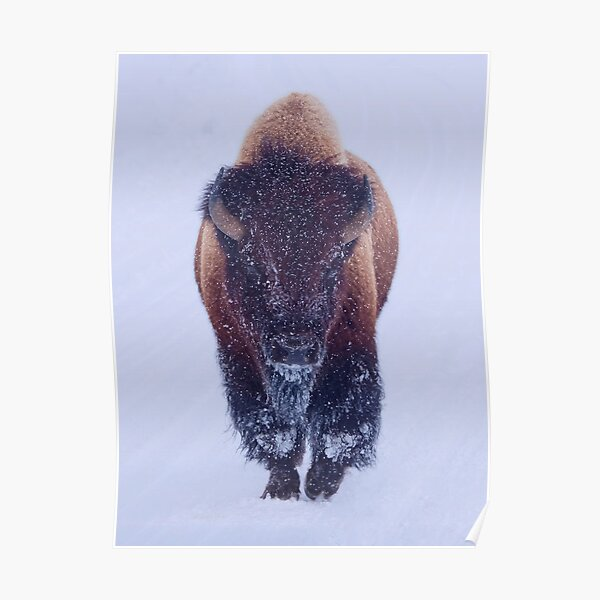 Bison Moving Through the Snow in Yellowstone National Park  Poster