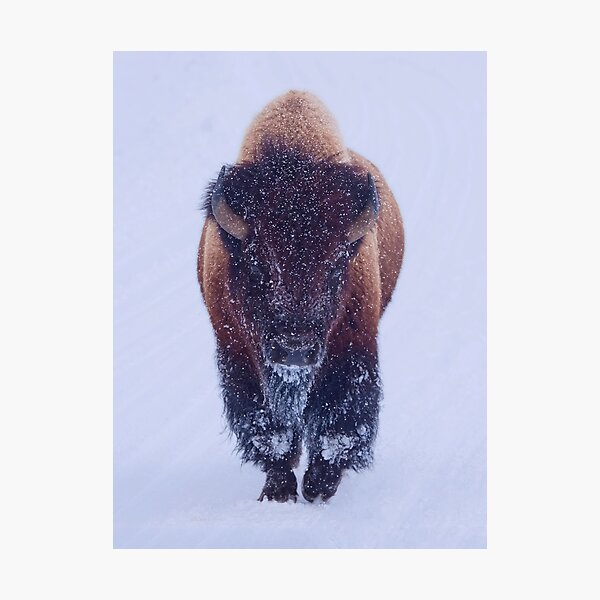 Bison Moving Through the Snow in Yellowstone National Park  Photographic Print
