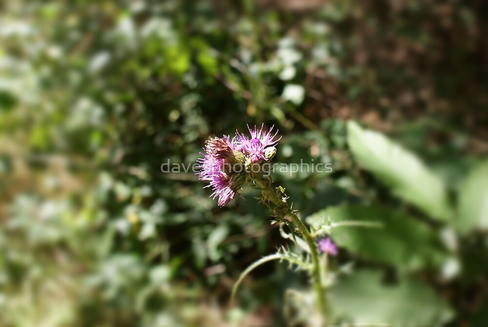 Wild Thistle by davesphotographics