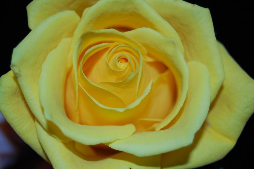 Yellow Rose by Angela Halliday