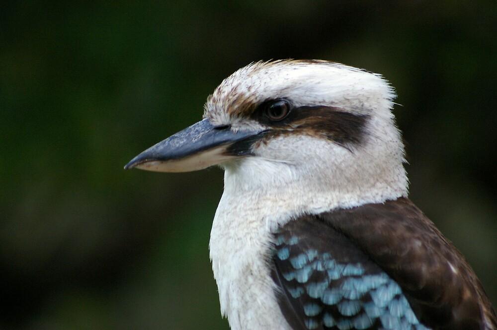 Kookaburra by Leeanne Smale