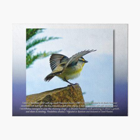 CRITTERS ~ Striated Pardalote Posturing by tasmanianartist Art Board Print