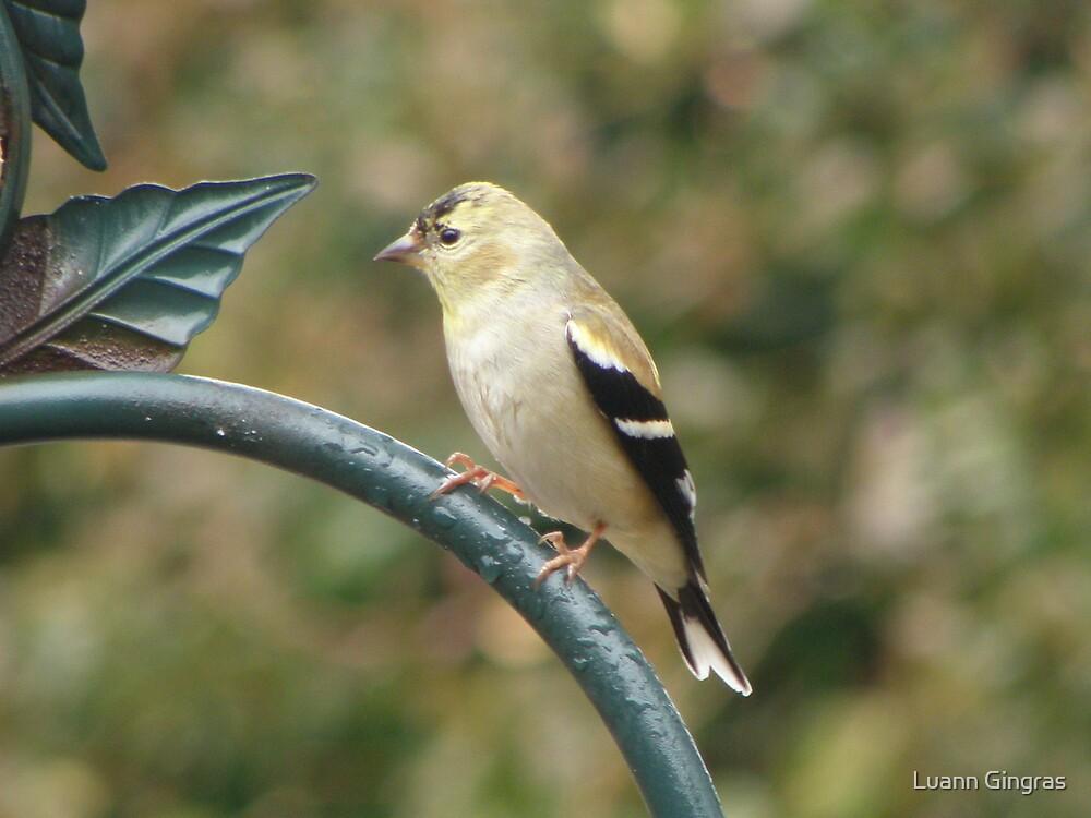 Goldfinch by Luann Gingras