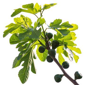 Green figs by acasali
