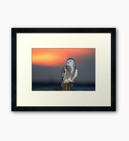 Snowy Owl at Sunset Framed Print