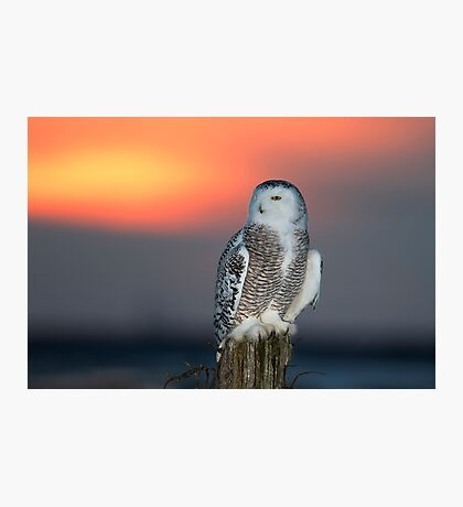 Snowy Owl at Sunset Photographic Print