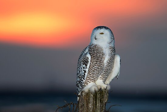 Snowy Owl at Sunset by Jim Cumming