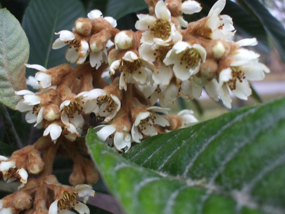 Loquat ~ Blossom by Dalzenia Sams