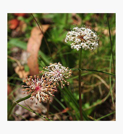 Trachymene scapigera Photographic Print