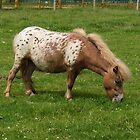 Appaloosa Pony by LoneAngel