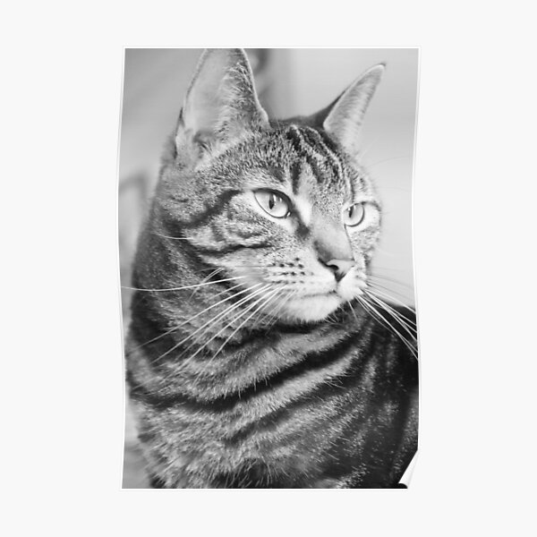 Tabby Cat in Black and White Poster