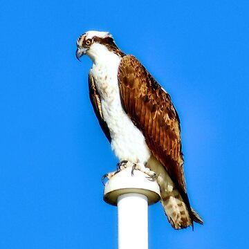 Osprey by SueAnne
