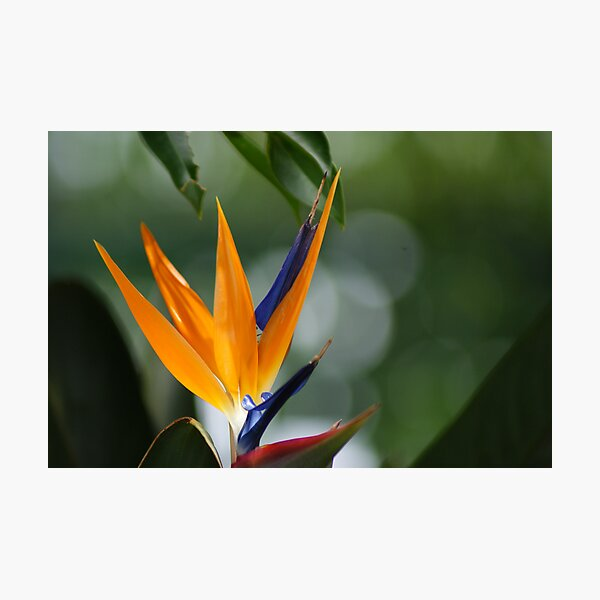 parrot flower Photographic Print