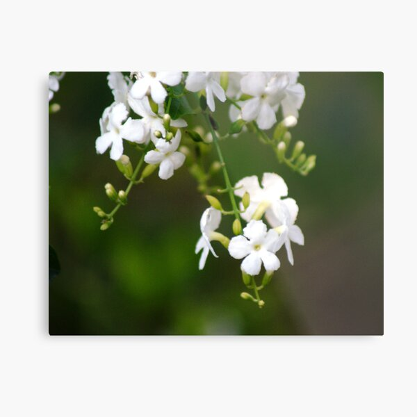 white lilly pily Metal Print