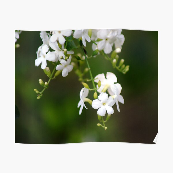 white lilly pily Poster