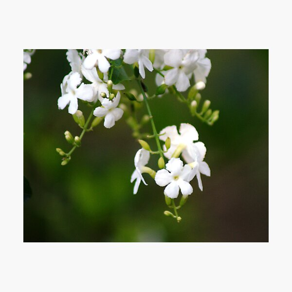 white lilly pily Photographic Print