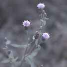 TWISTED THISTLE by DianaMatisz