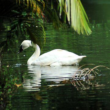 Trumpeter Swan by OrphieG