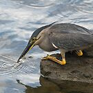 Australian Striated Heron by Janette Rodgers