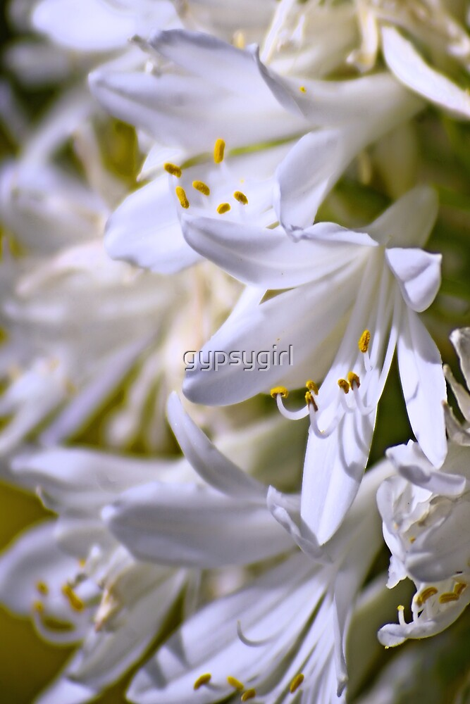 White Agapanthus by gypsygirl