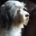 Tibetan Terrier - White and Grey by Shani Burgess