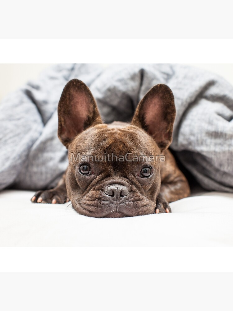 French Bulldog by ManwithaCamera
