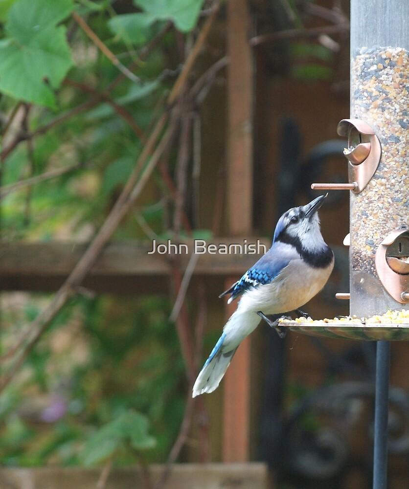 Blue Jay by John Beamish