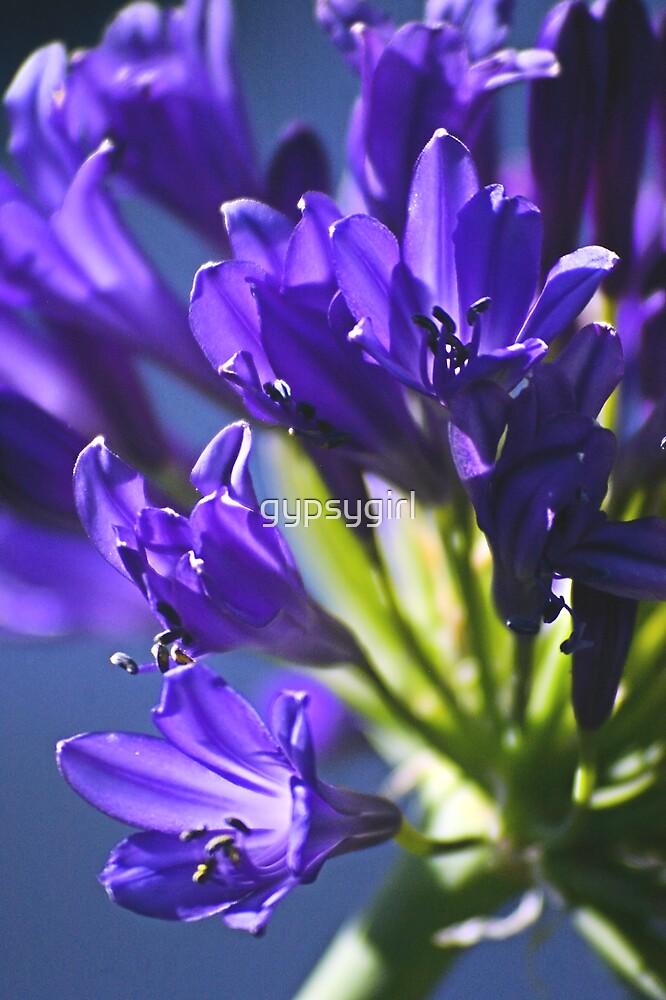 Blue Agapanthus I by gypsygirl